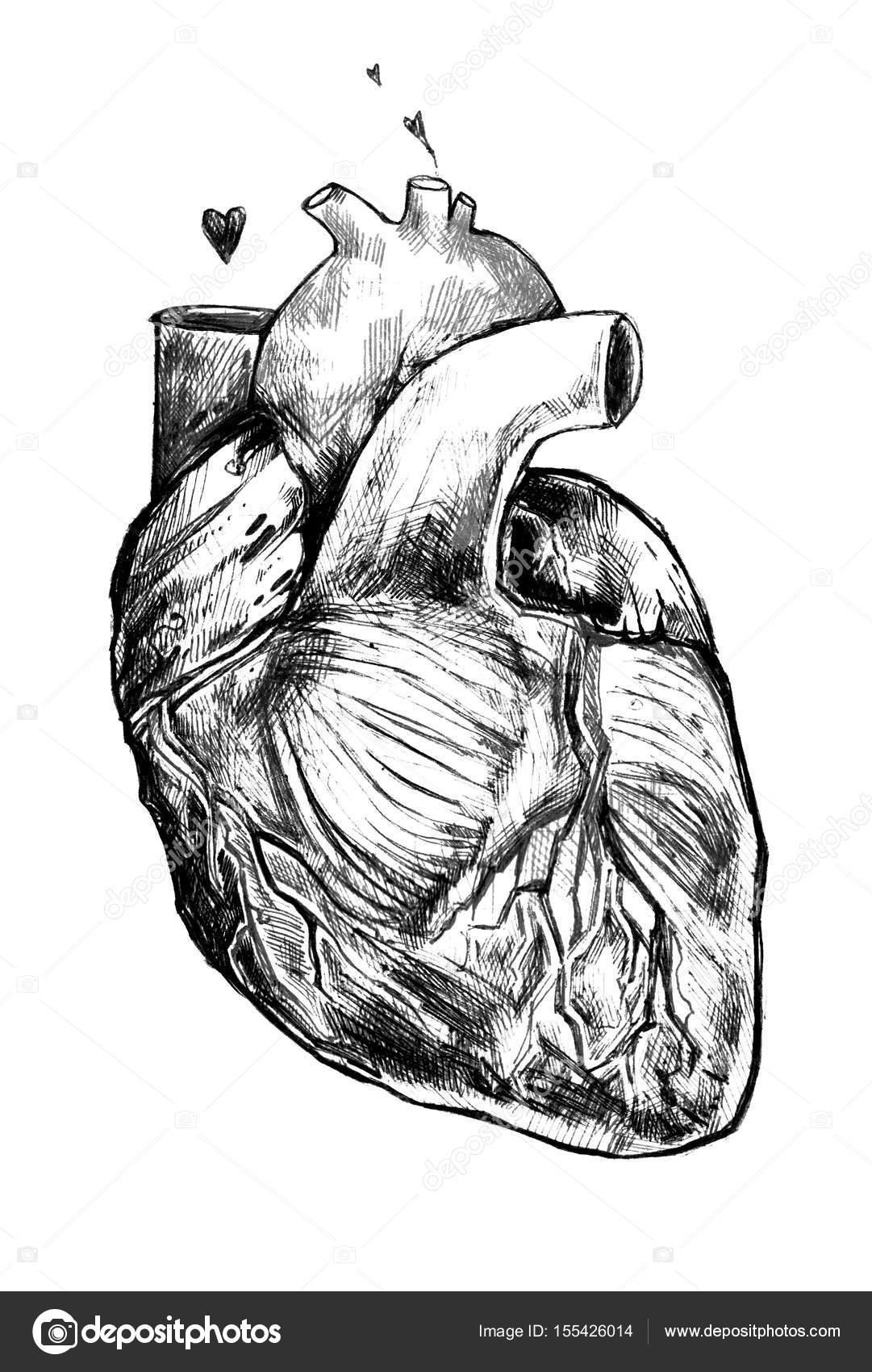 Dibujos Corazones Realistas Hermoso Corazón Realista Sobre Un