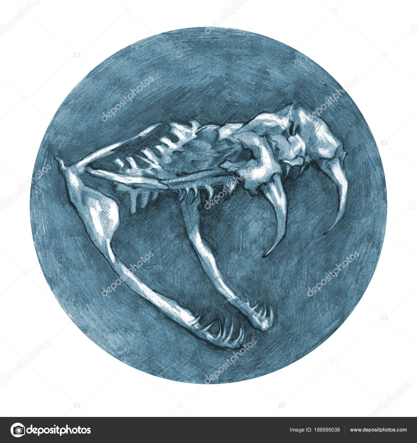 Dibujo Anatómico Cráneo Serpiente Anatomía Los Animales — Fotos de ...