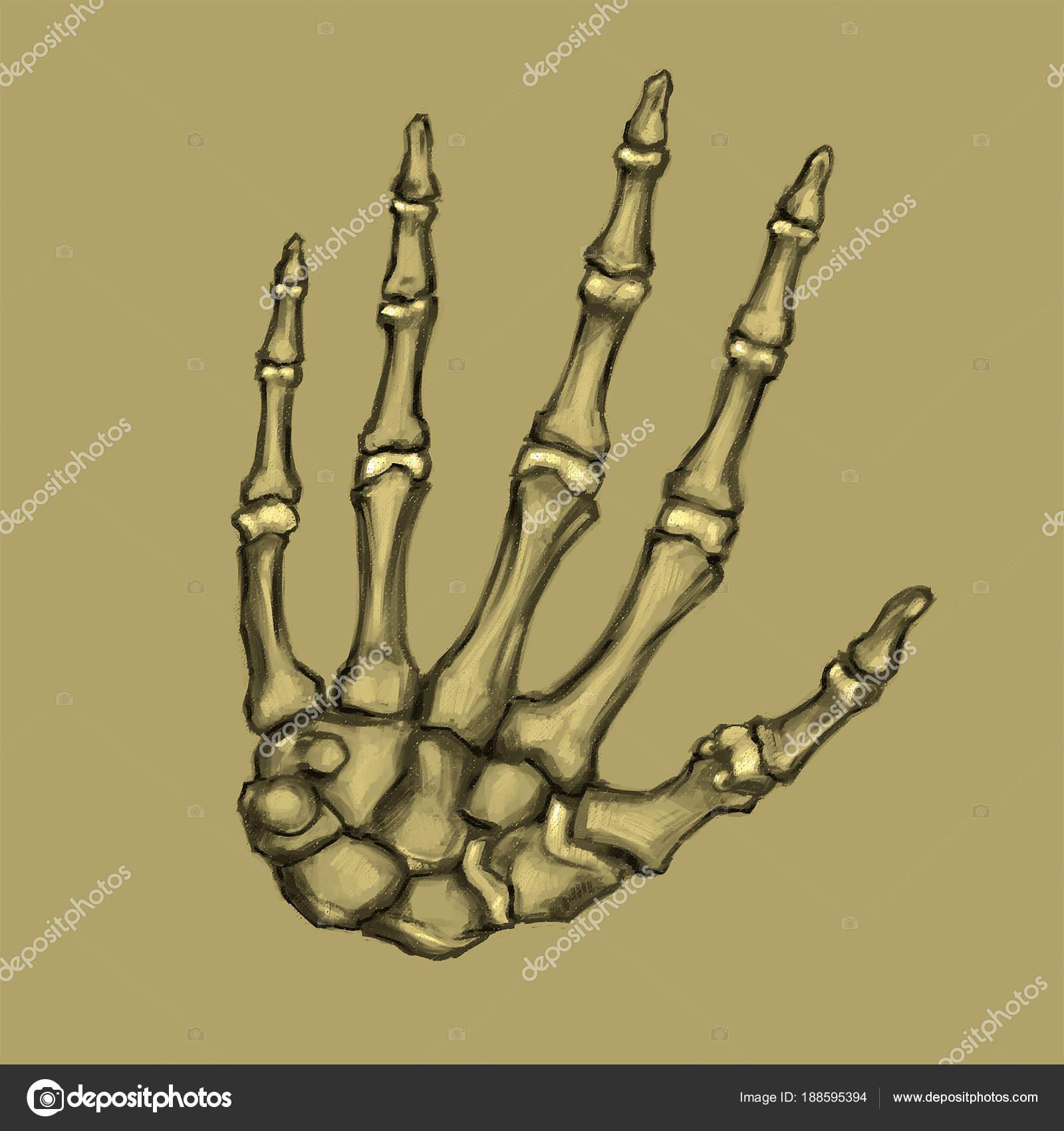 Huesos Mano Dibujado Mano Dibujo Anatómico Mano Esqueleto Humano ...