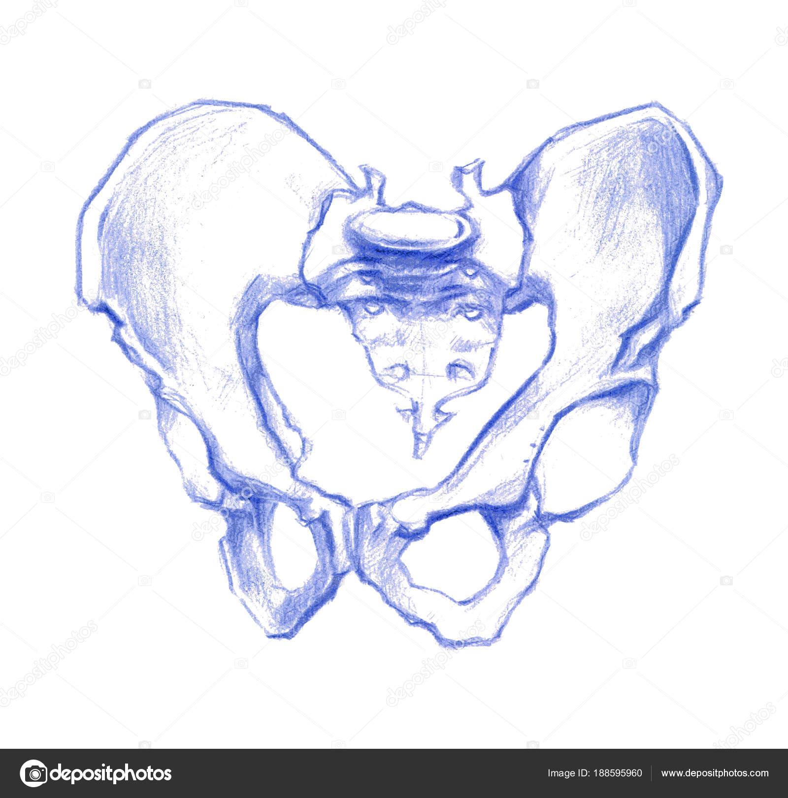 Menschliche Beckenknochen Hand Gezeichnete Abbildung Bleistift ...