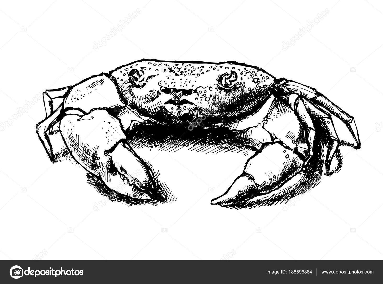Crab Drawing Hand Drawn Vintage Graphic Illustration Marine Creature ...