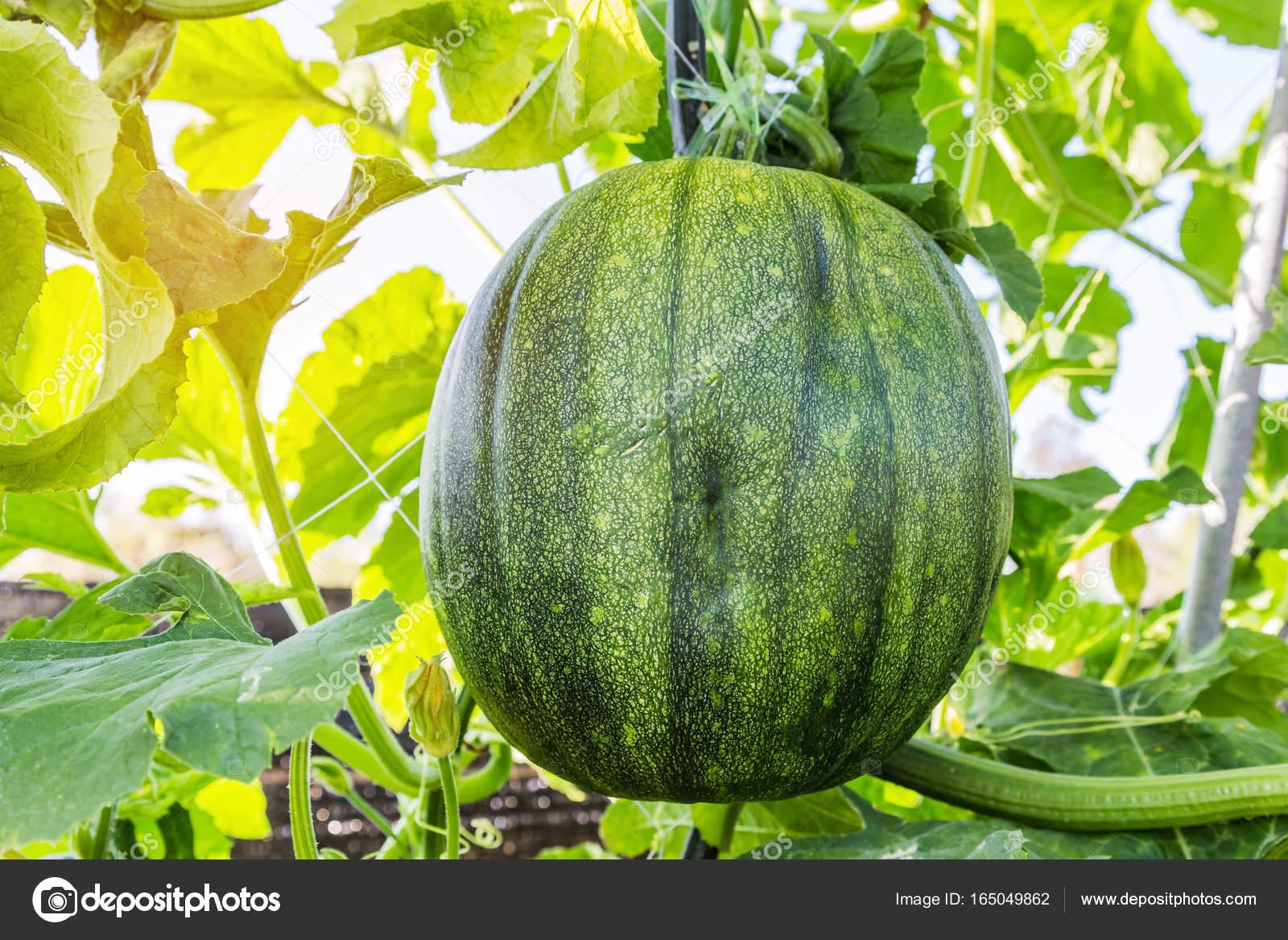 melon d'eau verte fraîche à effet de serre de plus en plus