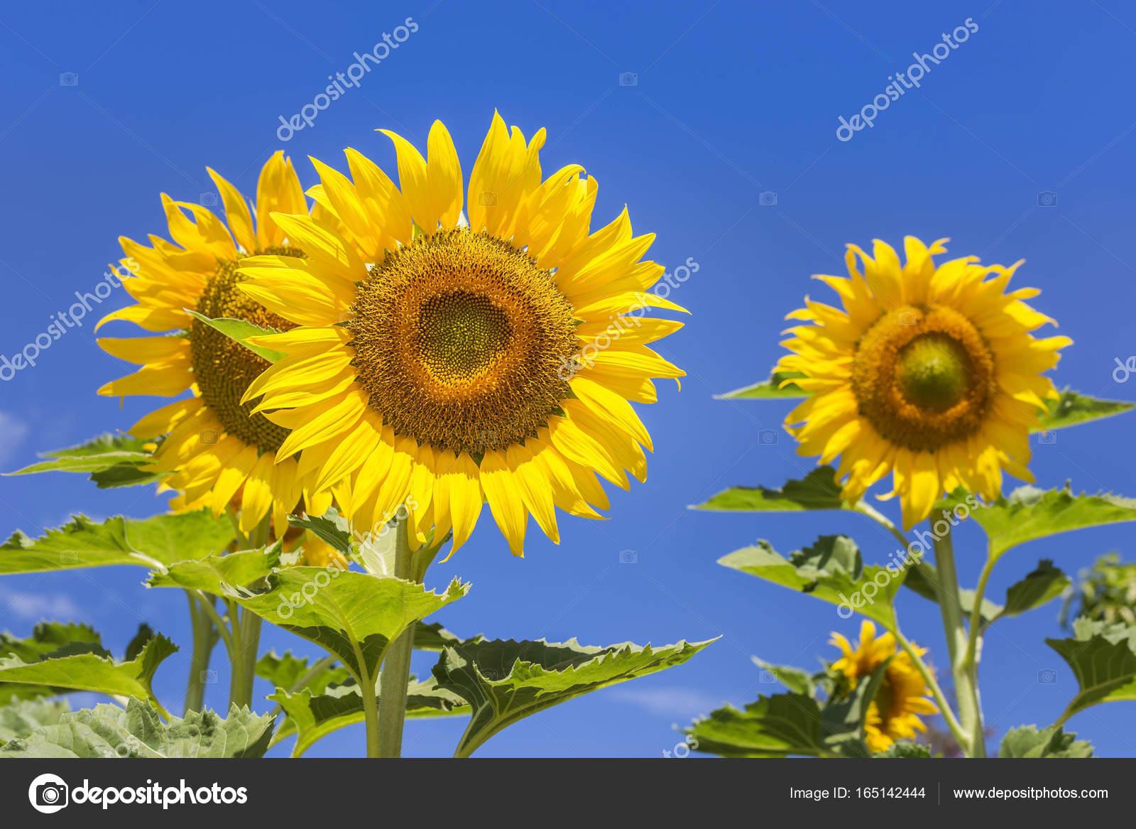Girasoli In Fiore Con Sfondo Di Cielo Blu Foto Stock Airubon