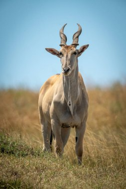 Common eland stands in grass facing camera