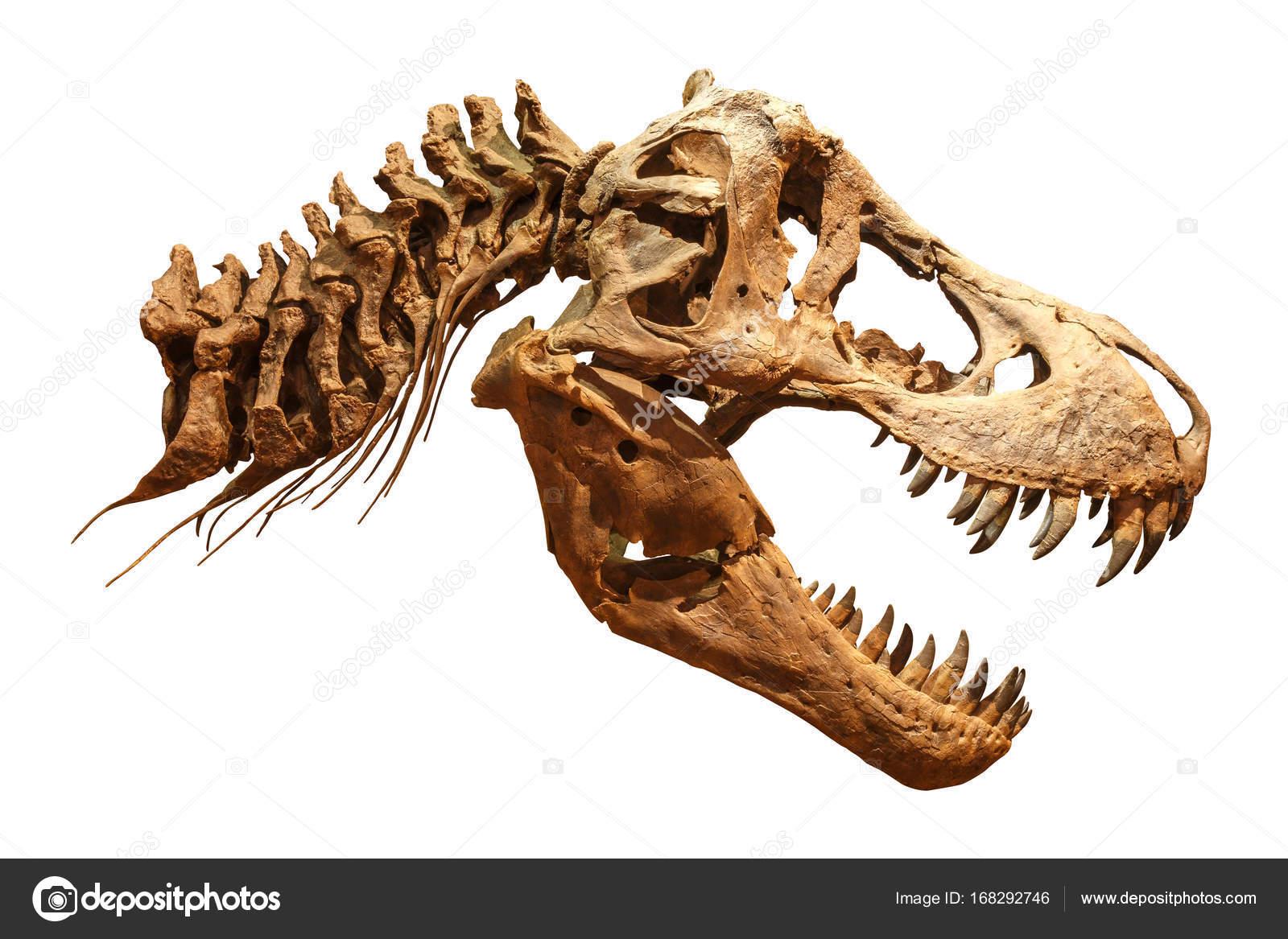 Skeleton of Tyrannosaurus rex ( T-rex ) on isolated background ...
