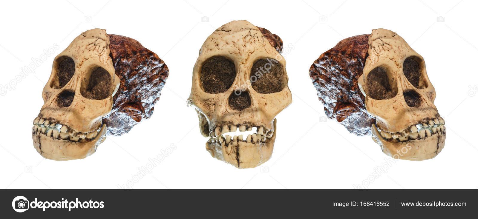 Satz von Australopithecus Africanus Schädel. (Taung Kind). Auf 2,5 ...