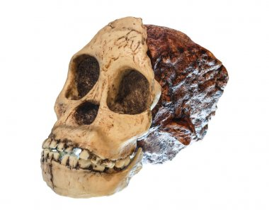 Australopithecus africanus Skull . ( Taung Child ) . Dated to 2.5 million years ago . Discovered in 1924 in a limestone quarry near Taung village , South africa