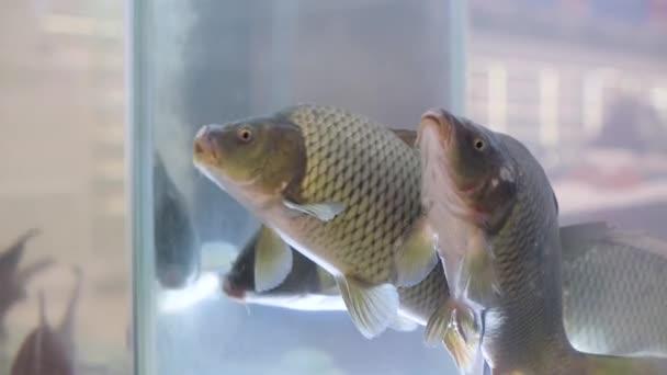 élő pontyok a halosztály akváriumában az élelmiszerboltban, közelről