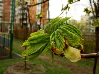 New leaves and buds of a horse chestnut tree, Aesculus hippocastanum, or conker tree. A branch with bright green young sprouts opening up in the spring sunshine on the city background (house, fence)