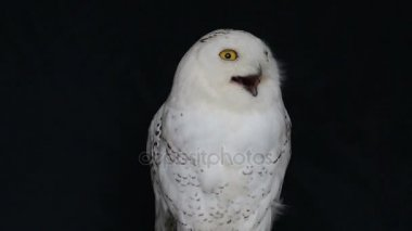 Snowy owl standing and looking something isolated on black background.