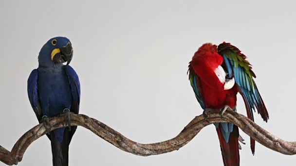 Parrot, macaw blue with Red Macaw