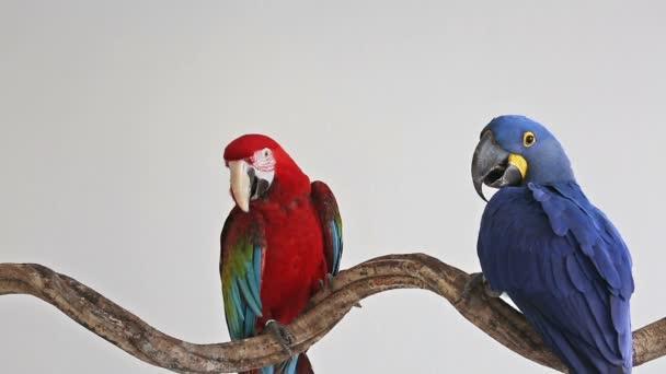 Papoušek ara modré s červený papoušek