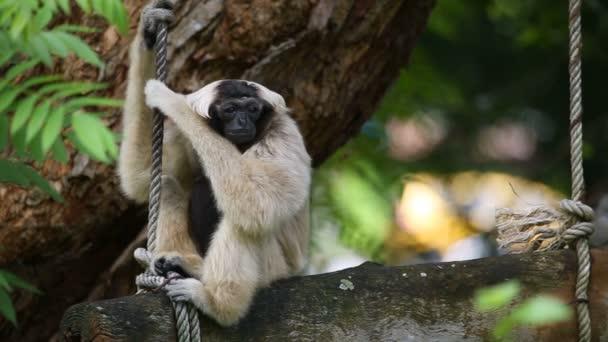 Pileated Gibbon na stromě.