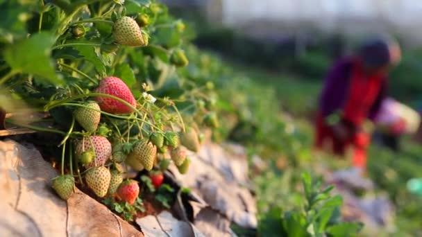 Rukou farmář sbíráme jahody v zahradě