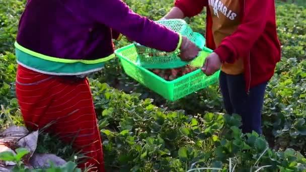 Hand of farmer picking strawberry in garden.