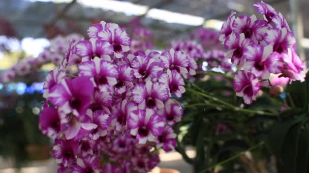 Beautiful of orchid branch flower blossom in the garden,Agriculture concept.