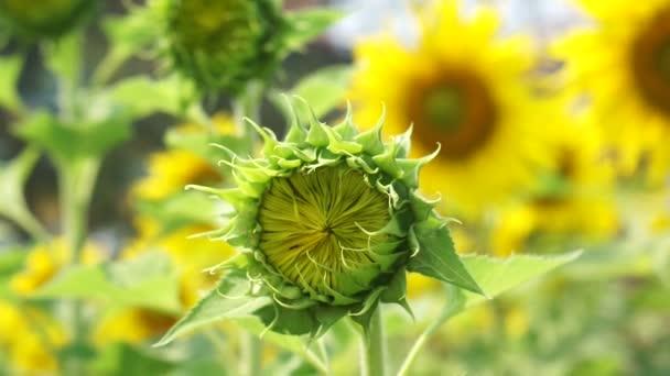 Detailní záběr záběr zářivě žluté slunečnice pole v Asii