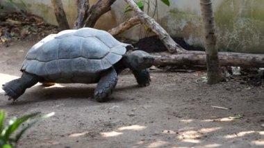 Tartaruga gigante delle seychelles di accoppiamento for Accoppiamento tartarughe