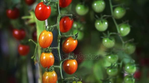 Červené, zelené a žluté rajčata pěstování révy v noci farm