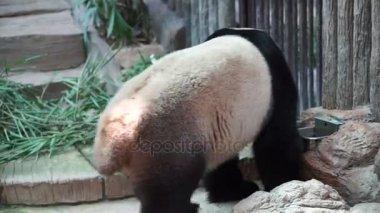 Panda walking around, endanger animal of China