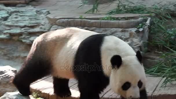 Panda chodit, ohrozit zvíře z Číny