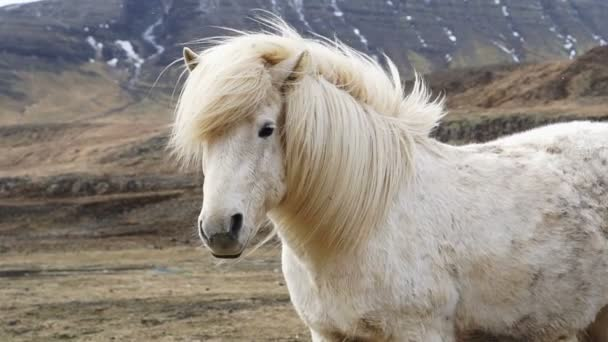 Izlandi Lovak fej lövés lövés közelről. Állt a ló sörényét imbolygott a szeles, havas környezetben