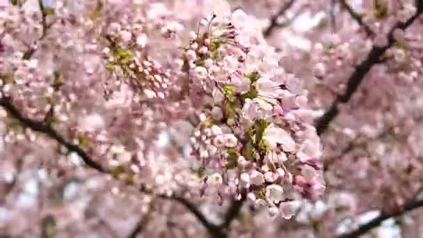 Růžová, Japonská sakura, třešeň květ kýval v větrný den s jasně modré obloze