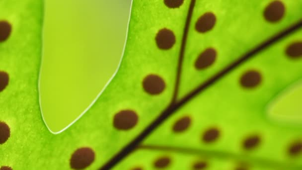 Video Fern leave with spore biology macro shot. Education detail of plant structure