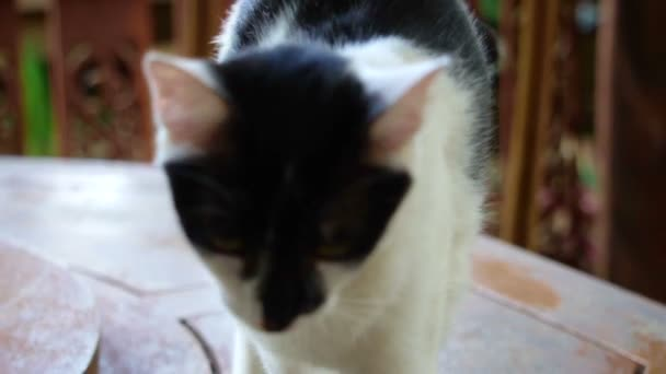 Image result for white cat with black face