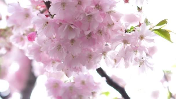 Kvetoucí růžová japonská Sakura Třešňové květy s krásné světlé pozadí