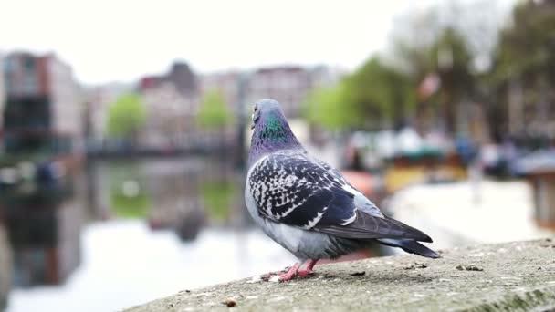 Holubí pták v Amsterdamu. Velké město chorob zvířat problém