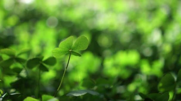 zelený jetel štěstí pozadí pole zelené