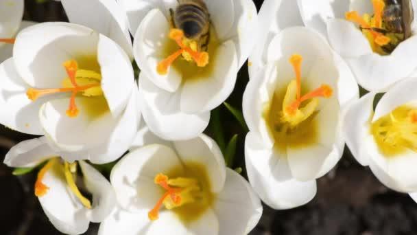 Mézelő méhek gyűjtenek nektár a krókuszok