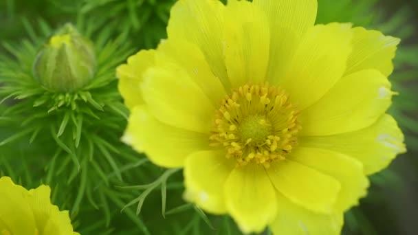 Adonis jarní, Goricvet, Starodubka, jarní květiny.