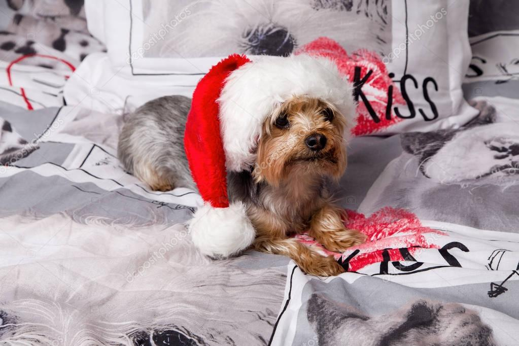 Sweet, cute dog breed yorkshire terrier lies on the bed in a Santa Claus hat