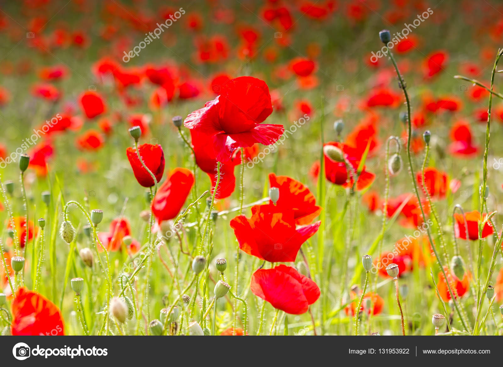 The Huge Field Of Red Poppies Flowers Stock Photo Vverve 131953922