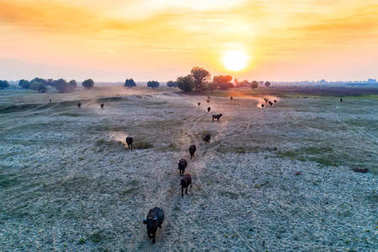 water buffalo grazing at sunset  next to the river Strymon in No