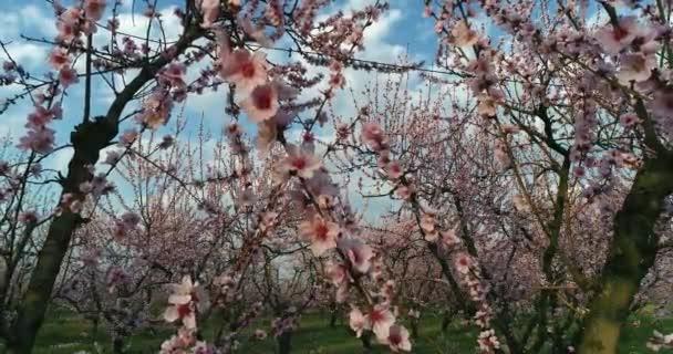 sad kvetoucích broskvoní na jaře na planině Veria v severním Řecku