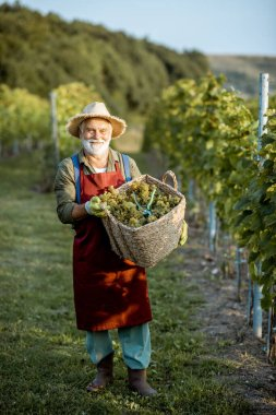 Senior winemaker with grapes on the vineyard