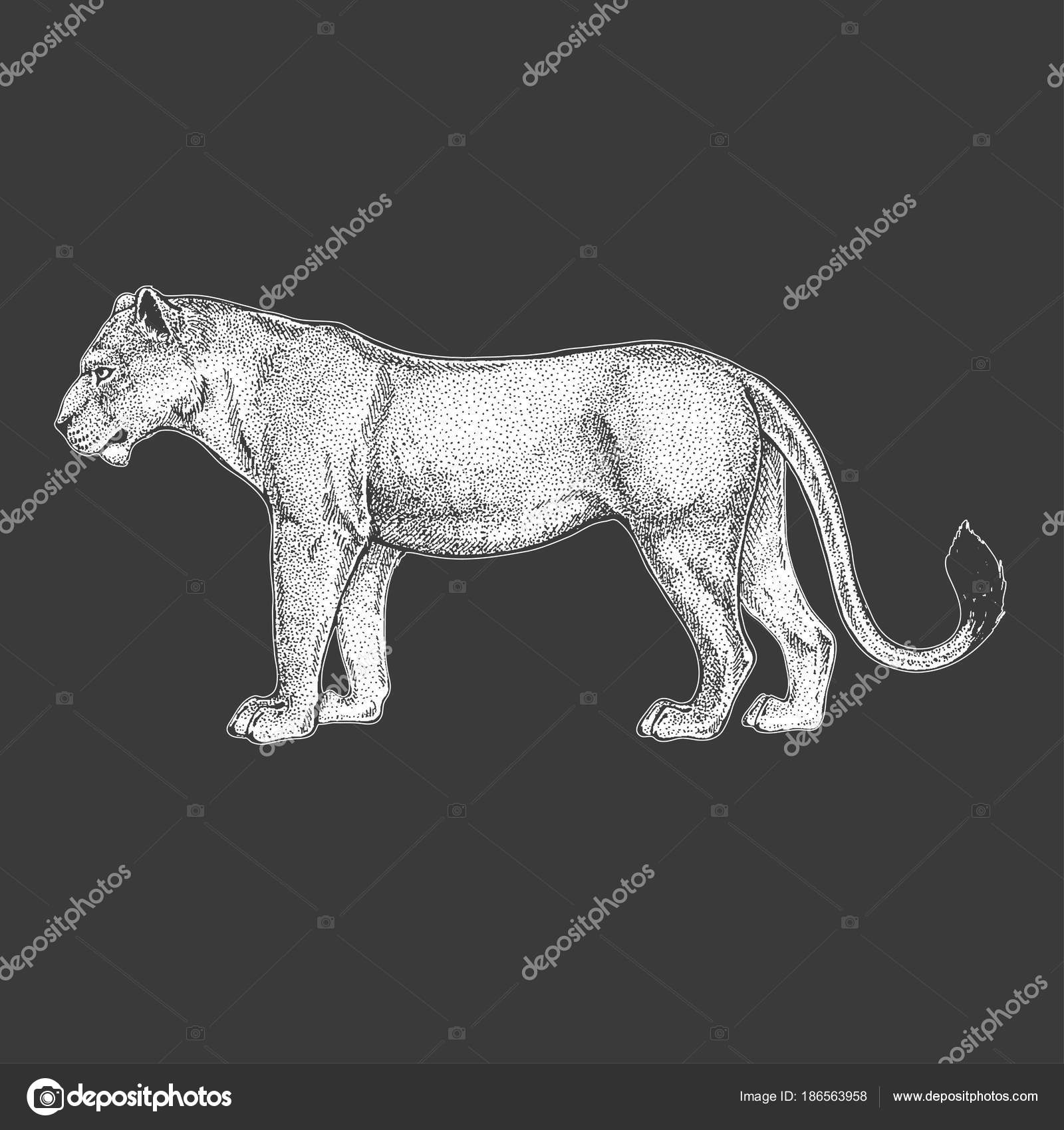 Zoo African Fauna Lion Wild Cat Hand Drawn Illustration For