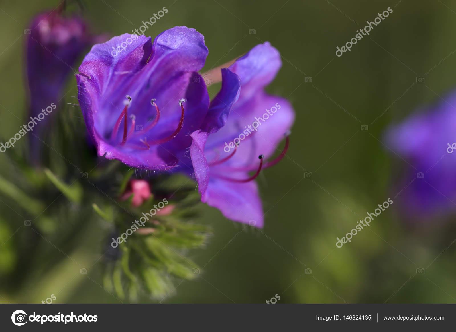 Macro Fleur Mauve Sauvage Photographie Zacariasdamata C 146824135
