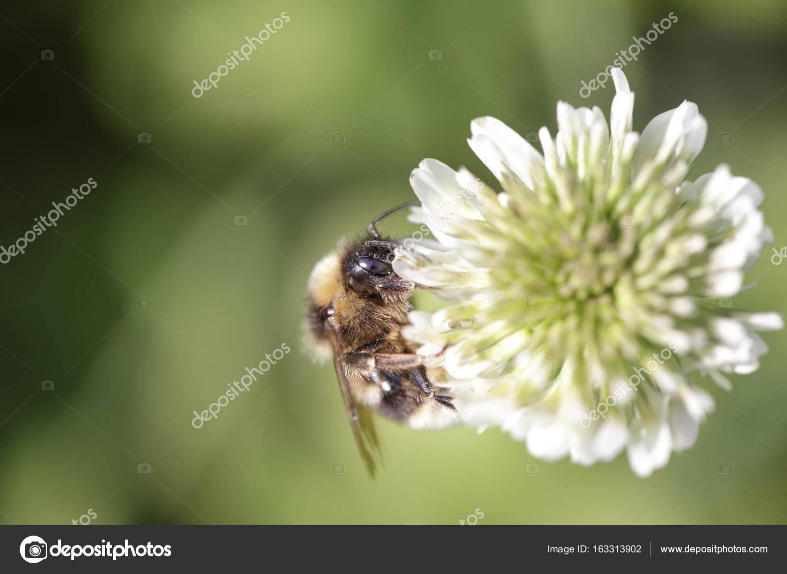 buy popular 1f035 fa9f1 Hummel, die Pollen von einer weißen Blume saugen — Stockfoto ...