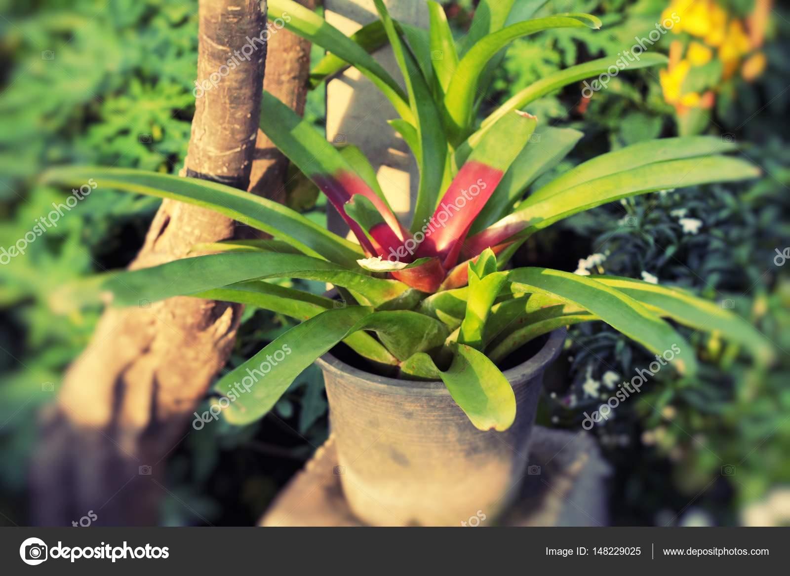 ananas-blume im garten — stockfoto © seagamess #148229025