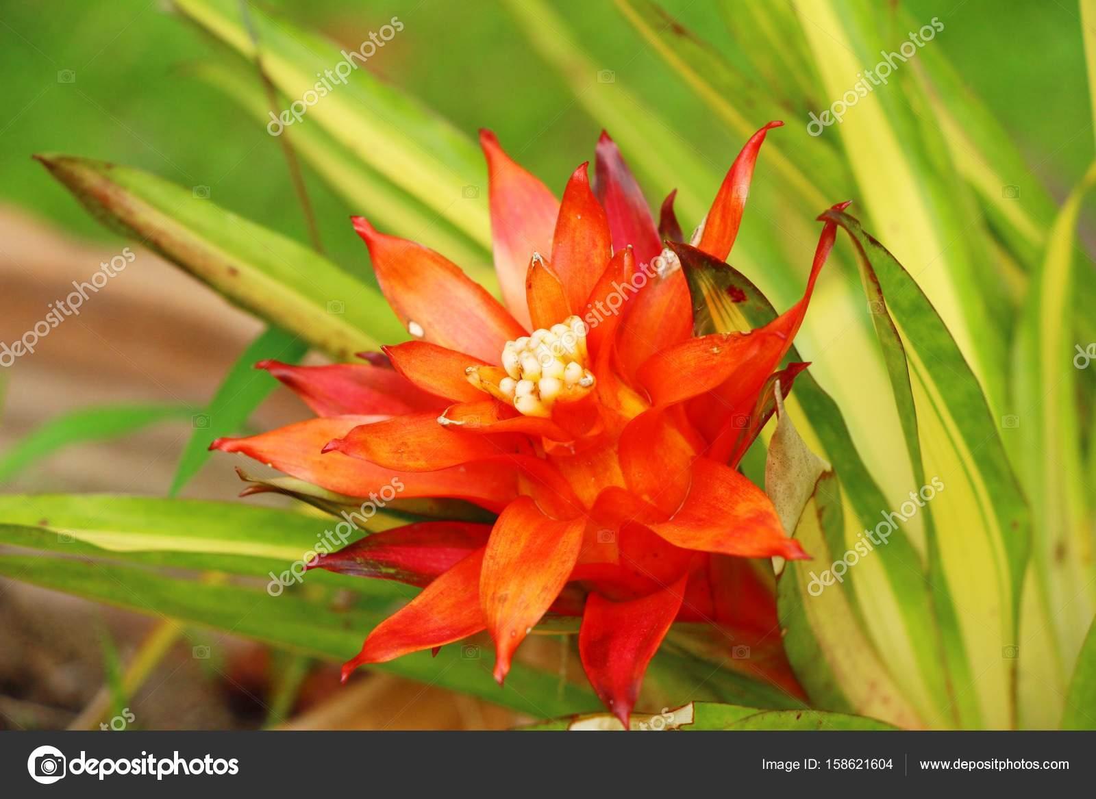 ananas-blume im garten — stockfoto © seagamess #158621604