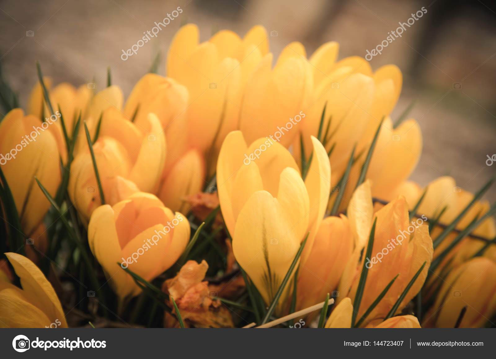 Yellow Crocus Flower Stock Photo Katarinagondova 144723407