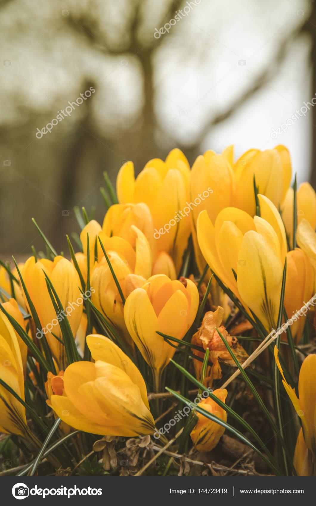 Yellow Crocus Flower Stock Photo Katarinagondova 144723419
