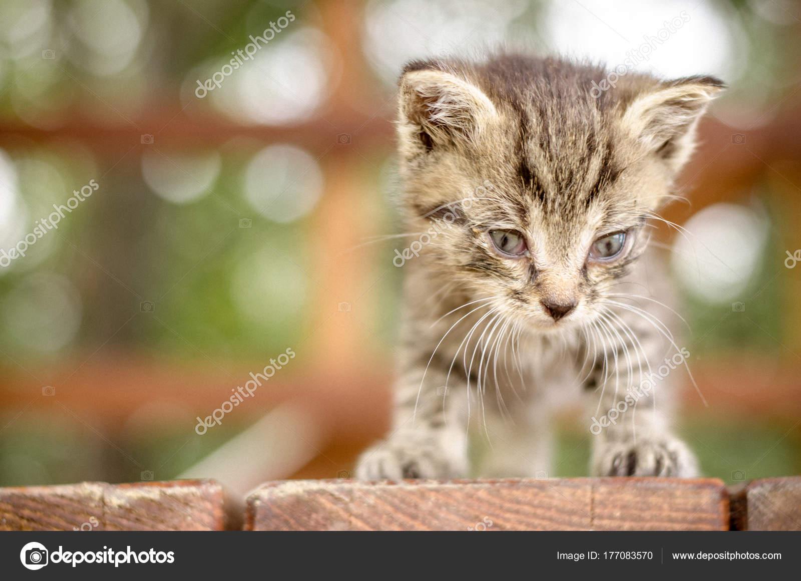 Gatto Cucciolo Grigio Bianco Con Il Ritratto Degli Occhi Azzurri
