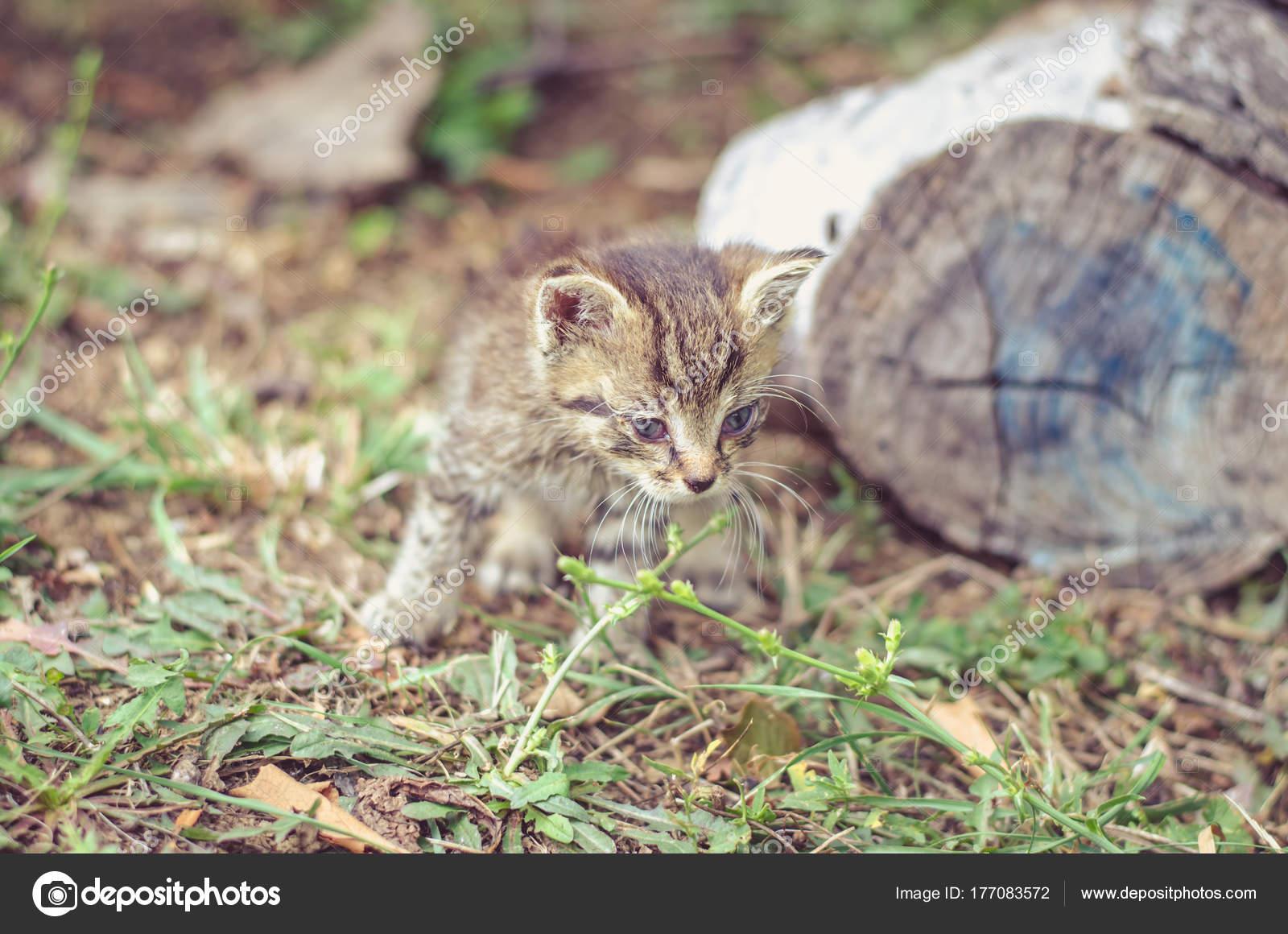 Gatto Cucciolo Grigio Bianco Con Gli Occhi Azzurri Foto Stock