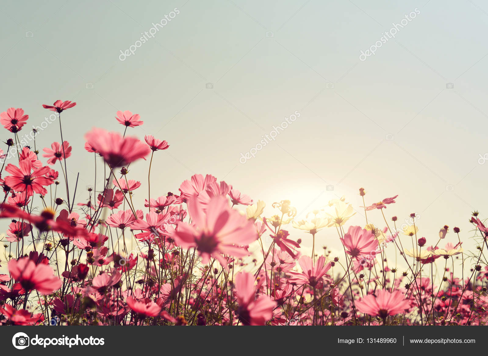 Pink of cosmos flower field stock photo jakkapan 131489960 pink of cosmos flower field stock photo mightylinksfo