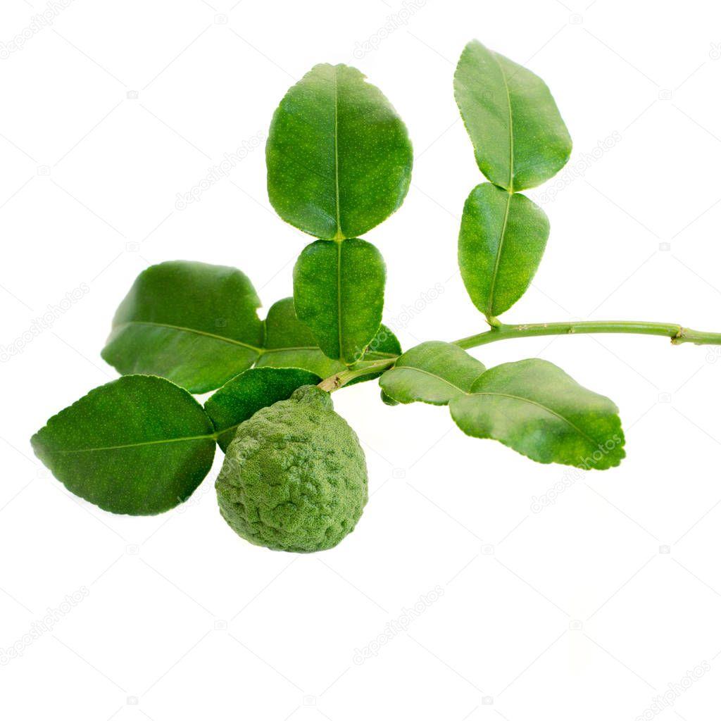 Bergamot tree with leaf isolate on white